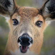 A startled Deer